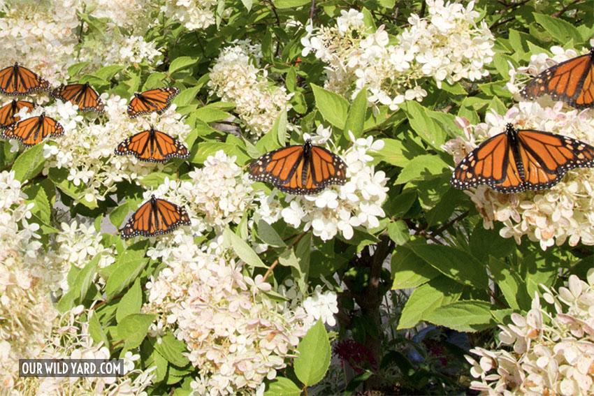 Monarch Butterly garden