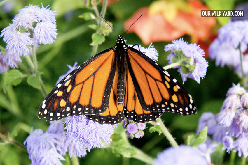 Monarch butterfly on a nectar plant