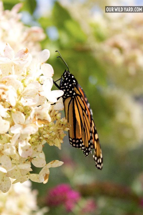 Monarch butterfly feeding on a nectar plant