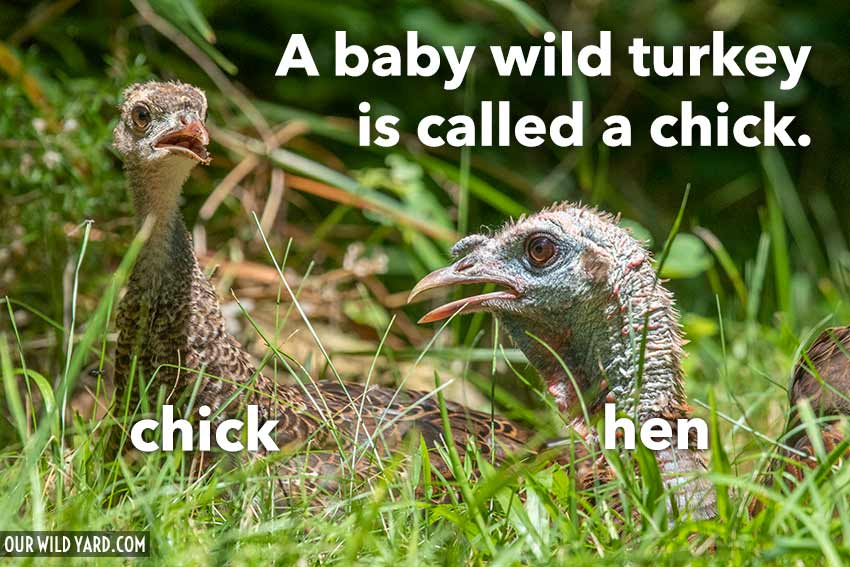Baby turkey name is chick