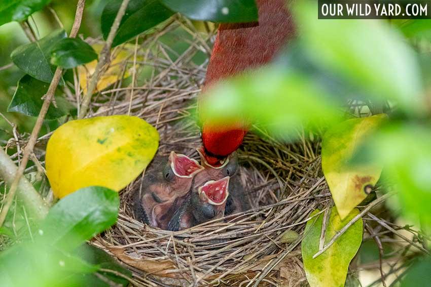Our Wild Yard, cardinal family
