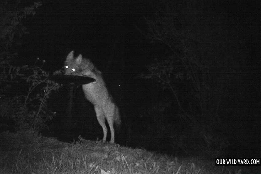 coyote drinking from bird bath