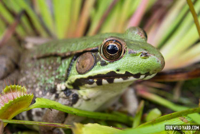 How to make a pond for wildlife (like this frog)