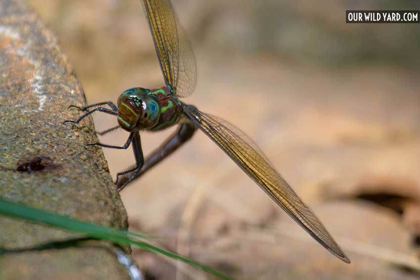swamp darner dragonfly (Epiaeschna heros) at our pond for wildlife