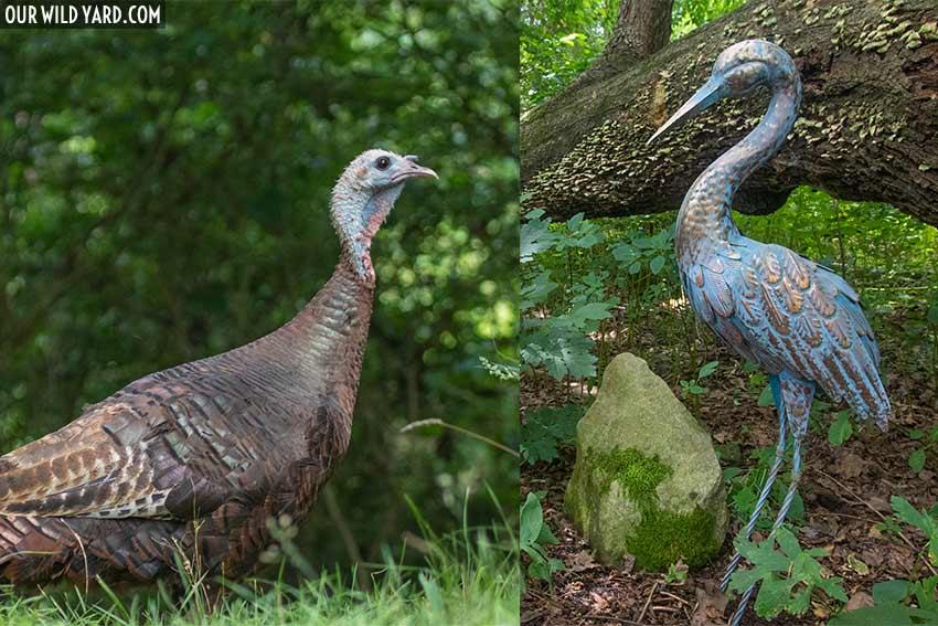 Turkey vs Garden Statue