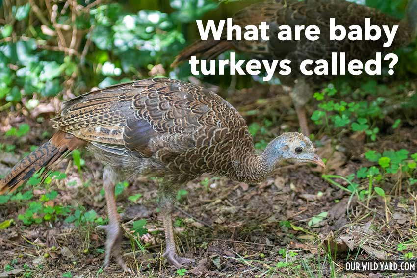 What are baby turkeys called?