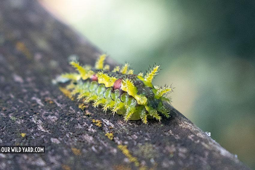 Caterpillar walking along our deck