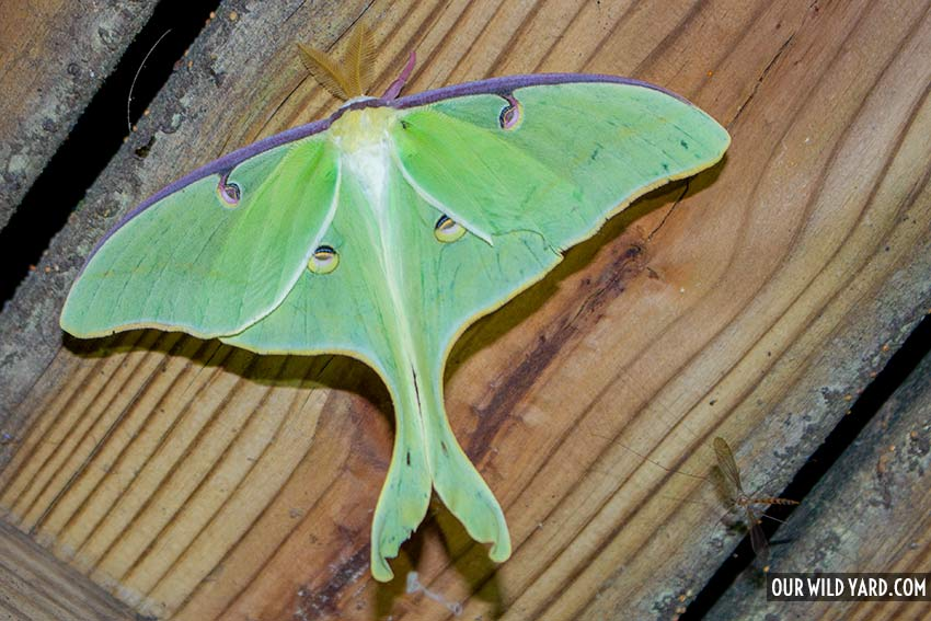 Luna Moth, one of the biggest moths in North America