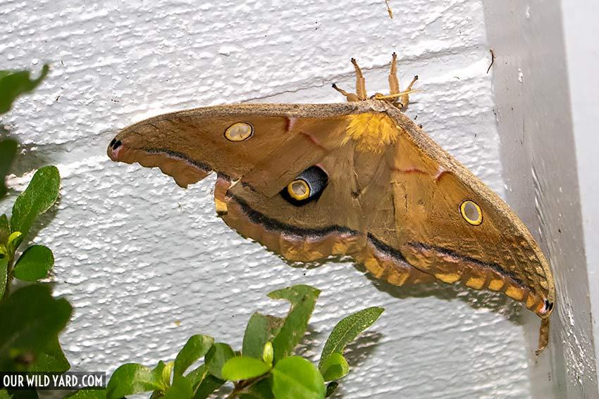 Second biggest moth in North America, Polyphemus Moth